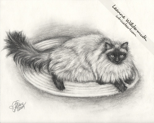 Long Haired Siamese cat portrait pencil by Leanne Wildermuth