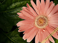 Coral gerbera daisy free nature desktop wallpaper by Leanne Wildermuth
