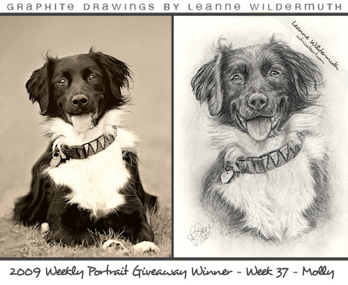 border collie portrait pencil drawing by Leanne Wildermuth
