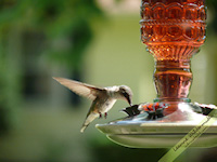 Hummingbird drinking free nature desktop wallpaper by Leanne Wildermuth