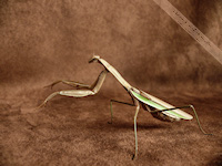 Praying Mantis free nature desktop wallpaper by Leanne Wildermuth