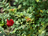 Single red rose bud free nature desktop wallpaper by Leanne Wildermuth