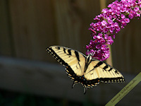 yellow swallowtail western tiger butterfly bush free nature desktop wallpaper by Leanne Wildermuth